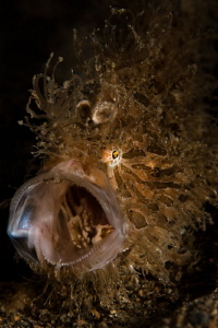 hairy frog fish yawn by Paolo Isgro